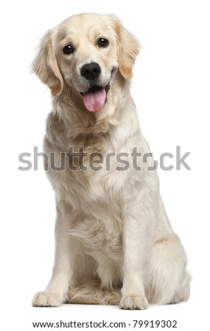 Golden Retriever, 10 months old, sitting in front of white background - stock photo