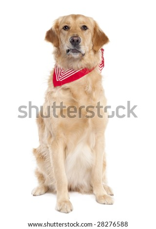 Golden Retriever (17 mopnths old) in front of a white background