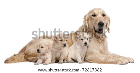 Golden Retriever mother, 5 years old, and her puppies, 4 weeks old, in front of white background - stock photo