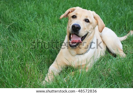 Golden retriever on the green grass - stock photo
