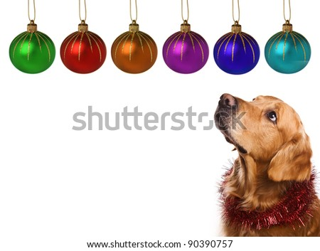 Golden retriever on white background - stock photo