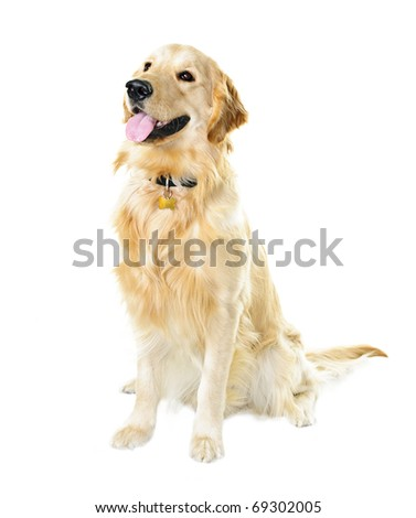 Golden retriever pet dog sitting isolated on white background - stock photo