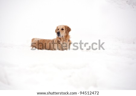 Golden Retriever playing outside in the snow. - stock photo