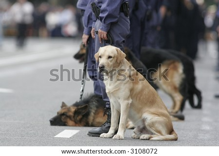 GOLDEN RETRIEVER POLICE DOG HOPING NEXT TO OTHER DOG TO WORK - stock photo