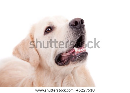 Golden Retriever Portrait - isolated on white - stock photo