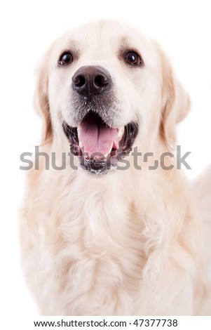 Golden Retriever Portrait, isolated over white background - stock photo