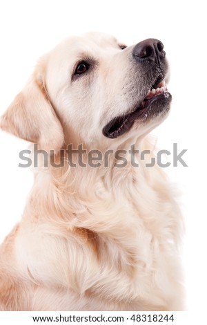 Golden Retriever Portrait - Isolated over white background - stock photo