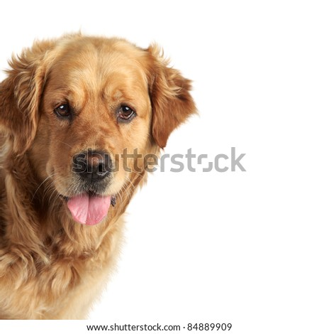 Golden retriever portrait on white background - stock photo