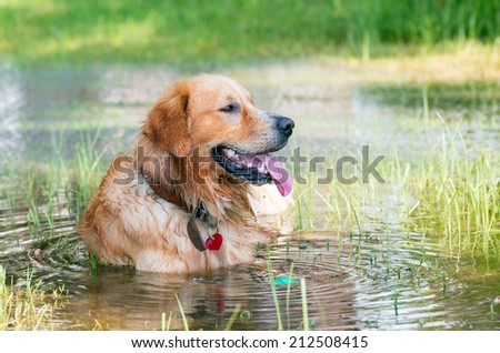 Golden Retriever Portrait, sitting in the water next to floating ball