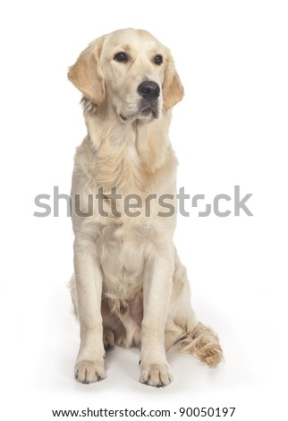Golden Retriever posing in front of the camera in a studio - stock photo