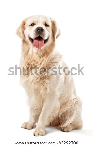 Golden retriever posing in studio. - stock photo