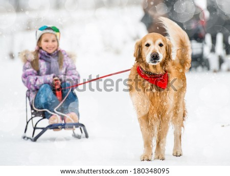 Golden Retriever pulls the sledge with a little girl in the snow