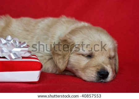 golden retriever pup with holiday gift - stock photo