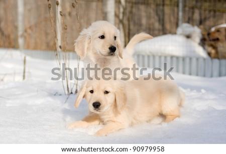 Golden retriever puppies in snow - stock photo
