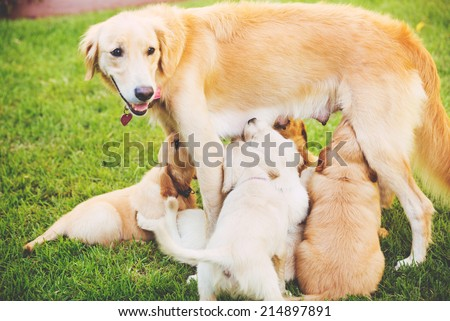 Golden Retriever Puppies Nursing from their Mother Mother in the Yard  - stock photo