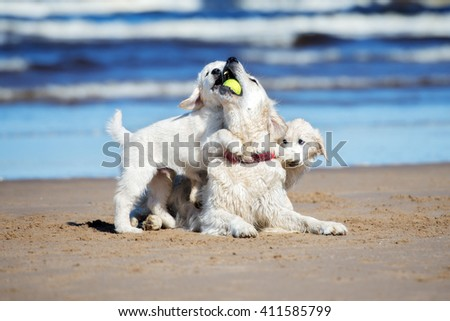 golden retriever puppies playing with dog on the beach - stock photo