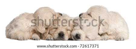 Golden Retriever puppies, 4 weeks old, asleep in front of white background - stock photo