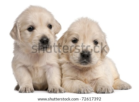 Golden Retriever puppies, 4 weeks old, in front of white background - stock photo