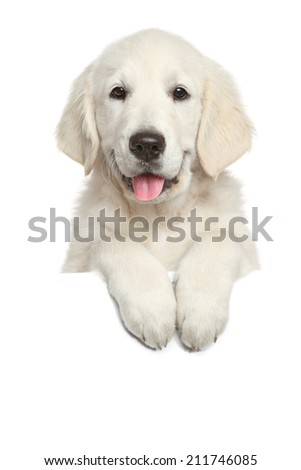 Golden Retriever puppy above white banner looking at camera. isolated on white background - stock photo