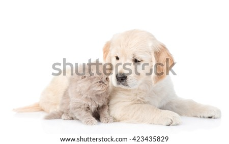 Golden retriever puppy and cute kitten lying together. isolated on white background