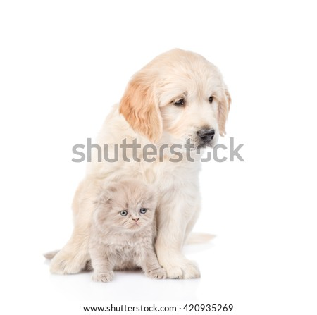 Golden retriever puppy and scottish kitten sitting together. isolated on white background - stock photo