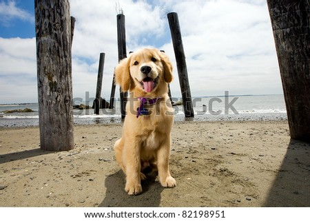 Golden Retriever Puppy at the Beach - stock photo