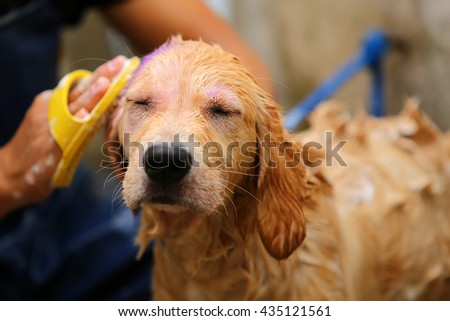 Golden Retriever puppy bathing - stock photo
