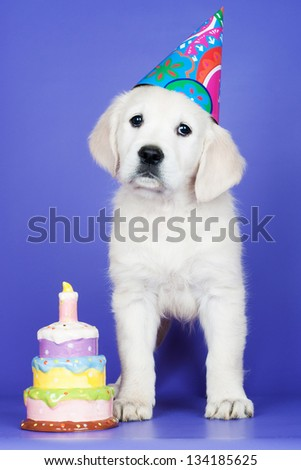 golden retriever puppy birthday postcard - stock photo