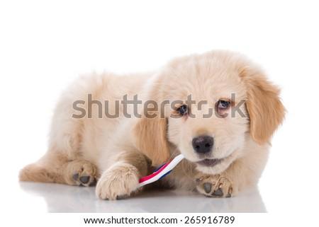 Golden Retriever puppy brushing his teeth sideways - stock photo