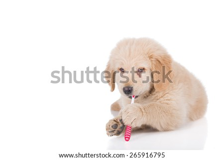 Golden Retriever puppy brushing his teeth with copy space