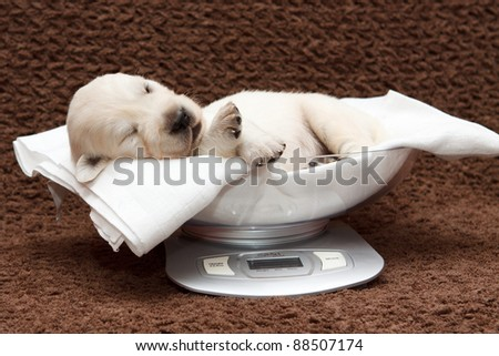 Golden retriever puppy by weighing - stock photo