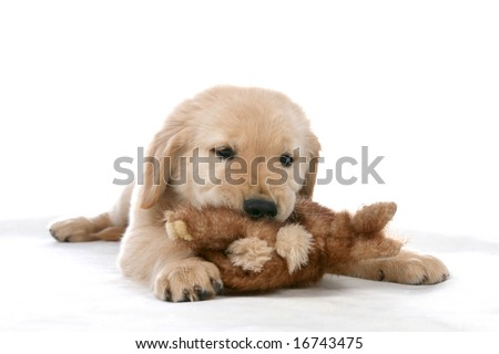 golden retriever puppy chewing its toy - stock photo