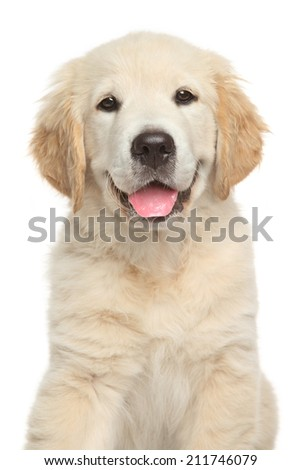 Golden Retriever puppy. Close-up portrait on white backgroun - stock photo