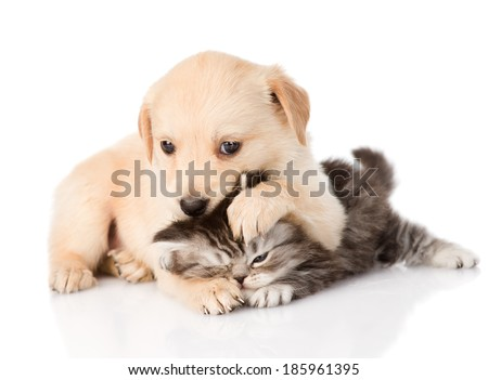 golden retriever puppy dog and british cat fight. isolated on white background