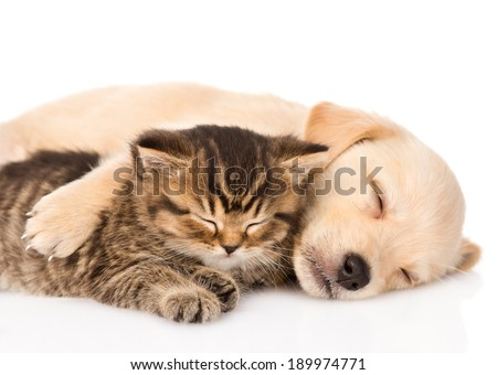 golden retriever puppy dog and british cat sleeping together. isolated on white background - stock photo