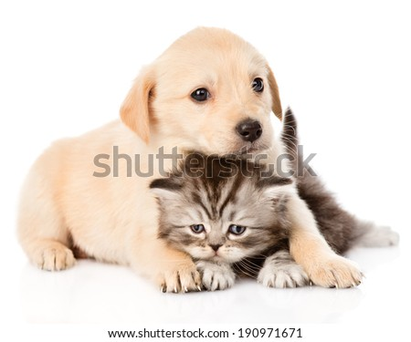 golden retriever puppy dog and british cat together. isolated on white background - stock photo