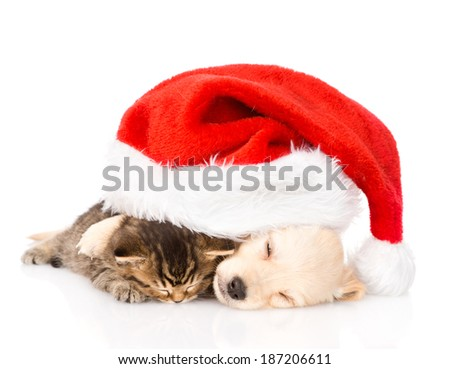 golden retriever puppy dog  and british cat with santa hat. isolated on white background
