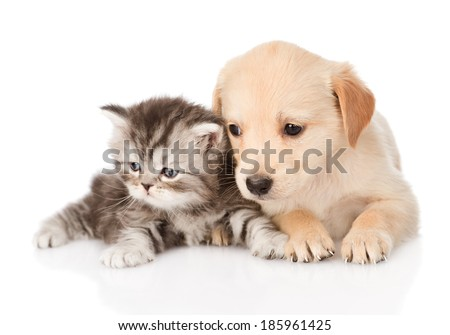 golden retriever puppy dog and british tabby cat lying together. isolated on white background - stock photo