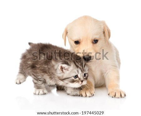 golden retriever puppy dog and scottish tabby cat together. isolated on white background