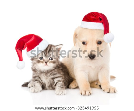 Golden retriever puppy dog and tabby cat with red christmas hats sitting together. isolated on white background - stock photo