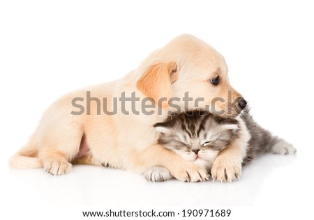golden retriever puppy dog hugging british cat. isolated on white background