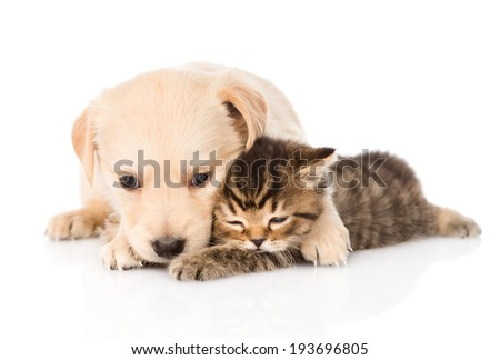 golden retriever puppy dog hugging british cat. isolated on white background - stock photo