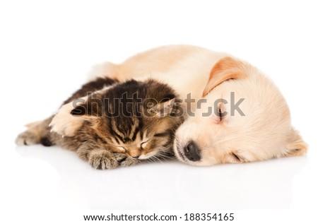 golden retriever puppy dog sleep with british kitten. isolated on white background - stock photo