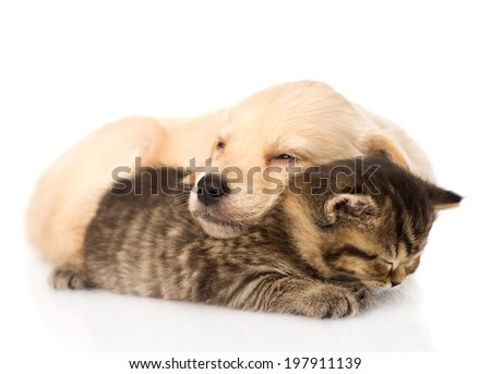 golden retriever puppy dog sleep with scottish kitten. isolated on white background - stock photo