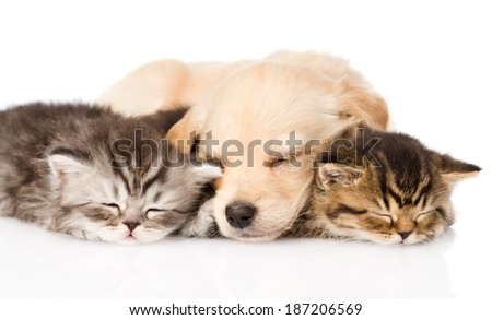 golden retriever puppy dog sleep with two british kittens. isolated on white background - stock photo