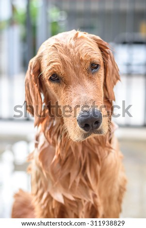 Golden retriever puppy gets a bath