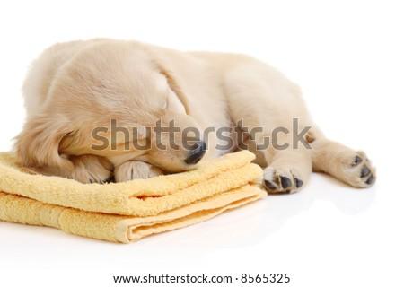 Golden retriever puppy having a nap - stock photo