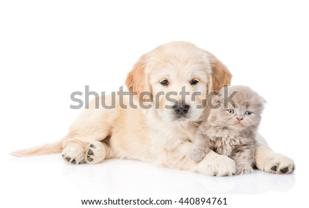 Golden retriever puppy hugging a small kitten. isolated on white background - stock photo