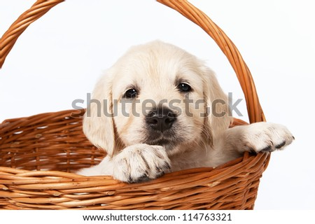 Golden retriever puppy in a basket on a white background - stock photo