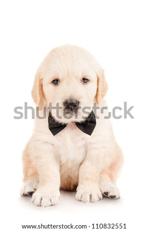 Golden retriever puppy in a tie - stock photo